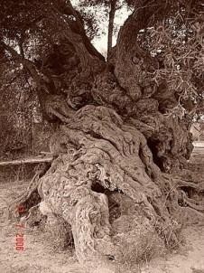Nejstarší olivovník v ANO VOUVES v perfektuře Chania